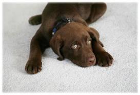 clean-la-carpet-cleaning-safe-for-pets